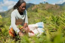 Pestovanie sigesbeckie orientalis_Madagaskar