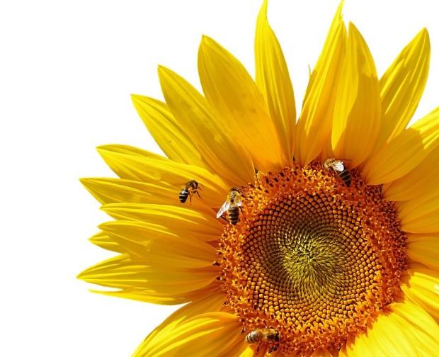 sun-flower-2531881-960-720