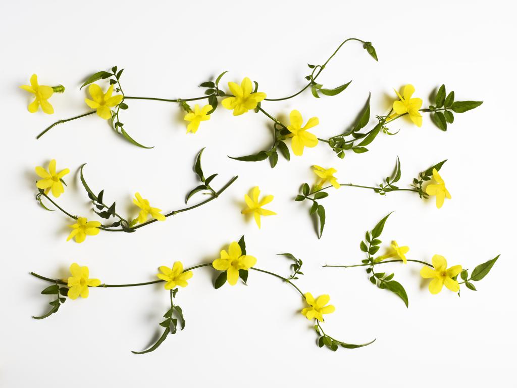 jasmine-flower-ingredient